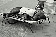 Sleeping Dogs Photo Prints - Only Human Print by Dean Harte