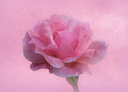 Pink Rose Prints - Only Pink Rose Print by Sandy Keeton