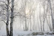 Foggy Day Posters - Ontario, Canada Birch Trees In The Fog Poster by Susan Dykstra
