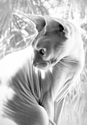 Naked Cat Framed Prints - Opal Kitty in the Window Framed Print by Glennis Siverson