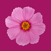 Colored Background Art - Open Pink Cosmos Flower On A Dark Pink Background by Rosemary Calvert