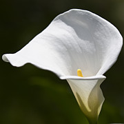 Leaf Photos - Open white calla lily V by Heiko Koehrer-Wagner
