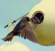 Feeding Birds Photo Prints - Open Wide Print by Karen Wiles