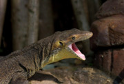 Reptile Photos - Open Wide by Mike  Dawson