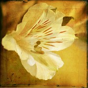 Lily Flowers - Opened Blossom by Cathie Tyler