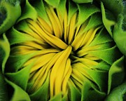 Sunflower Framed Prints - Opening Framed Print by Benjamin Yeager