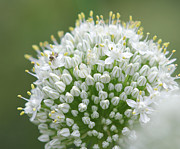 Flower Photography Drawings - Opening Onion Flower Blooms by Daniel Young