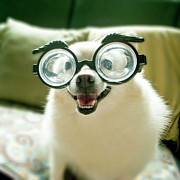 Glasses Photos - Opia Dog by Image provided by Chang, Min-Chieh