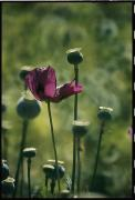 Madre Framed Prints - Opium Poppies Grow In The Barranca Framed Print by Maria Stenzel