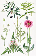 Black Berries Posters - Opium Poppy and other plants  Poster by  Elizabeth Rice