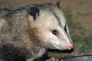 Possum Photos - Opossum by Geary Barr