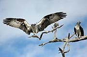 Osprey Prints Framed Prints - Opposites Framed Print by LaMarre Labadie