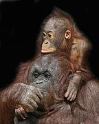 Orang-utan Mother And Baby Print by Larry Linton