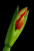 James BO  Insogna - Orange Amaryllis Blooming