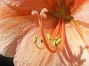 Orange Amaryllis Print by Mary Lane