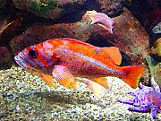 Tropical Fish Posters - Orange and Purple Fish Poster by Amy Vangsgard