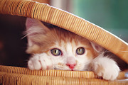 Basket Posters - Orange And White Kitten In Basket Poster by Sarahwolfephotography