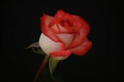 Orange And White Rose Print by Sandy Keeton