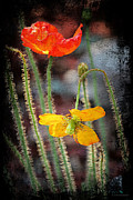 Framing Posters - Orange and Yellow Poppies Poster by Sarah Broadmeadow-Thomas