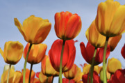Flevoland Art - Orange and Yellow Tulips with Blue Sky by Brandon Bourdages