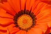Blume Prints - Orange Print by Angela Doelling AD DESIGN Photo and PhotoArt