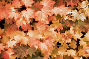 Leaf Abstract Prints - Orange Autumn Maple Leaves Print by Jennie Marie Schell