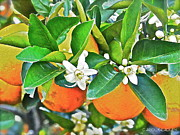 Orange Blossom Special Print by Carol  Bradley - Double B Photography