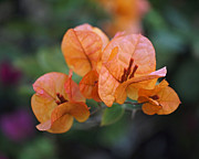 Bougainvilleas Prints - Orange Bougainvillea Print by Rona Black