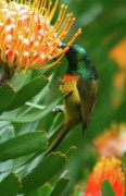 Proteas Prints - Orange-breasted Sunbird Feeding On Protea Blossom Print by Bruce J Robinson
