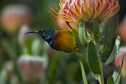 Protea Prints - Orange-breasted Sunbird On A Flower Print by Bob Gibbons