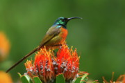 Proteas Prints - Orange-breasted Sunbird On Protea Blossom Print by Bruce J Robinson