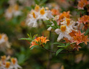 Rhodies Prints - Orange Brilliance Print by Mike Reid