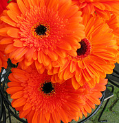 Zinnias Photos - Orange Burst by Elvira Butler
