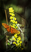 Gulf Fritillary Photos - Orange Butterfly on Yellow Wildflower by Carolyn Marshall