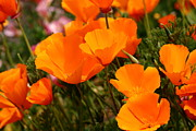 Ca Poppies Prints - Orange California Poppy . 7D14754 Print by Wingsdomain Art and Photography
