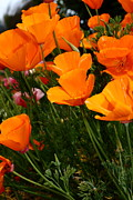Wings Domain Art - Orange California Poppy . 7D14756 by Wingsdomain Art and Photography