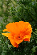 Perrenials Prints - Orange California Poppy . 7D14778 Print by Wingsdomain Art and Photography