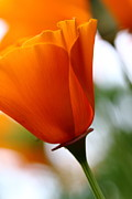 Perrenials Prints - Orange California Poppy . 7D14789 Print by Wingsdomain Art and Photography