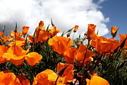 Orange Poppy Prints - Orange California Poppy . 7D15016 Print by Wingsdomain Art and Photography