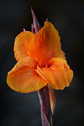 Canna Photo Posters - Orange Canna Lily Poster by Melanie Moraga