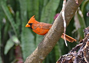 Orange Cardinal Print by Carol  Bradley - Double B Photography