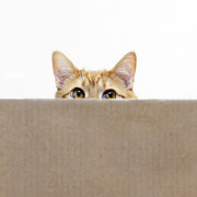Cardboard Posters - Orange Cat Peeping Out From Cardboard Box Poster by Kevin Steele