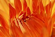 Macro Flower Originals - Orange by Catherine Lau