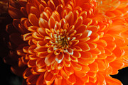 Flower Prints - Orange Chrysanthemum Cropped Print by Cindy Boyd