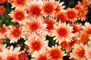 Pink Chrysanthemums Framed Prints - Orange Chrysanthemums Framed Print by Louise Heusinkveld
