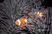 Sea Anemone Posters - Orange Clownfish In An Anemone Poster by Greg Dimijian