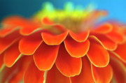 Zinnia Elegans Prints - Orange common zinnia Print by Sami Sarkis