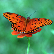Butterfly Prints - Orange Crush Print by Martha Catherine Ivey
