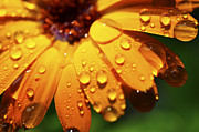 Vital Prints - Orange Daisy and Raindrops Print by Thomas R Fletcher