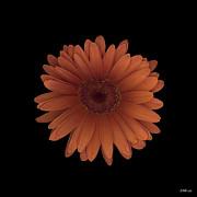 Heather Kirk - Orange Daisy Front